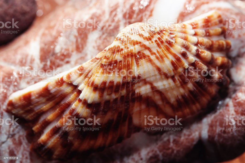 Colorful Shell royalty-free stock photo