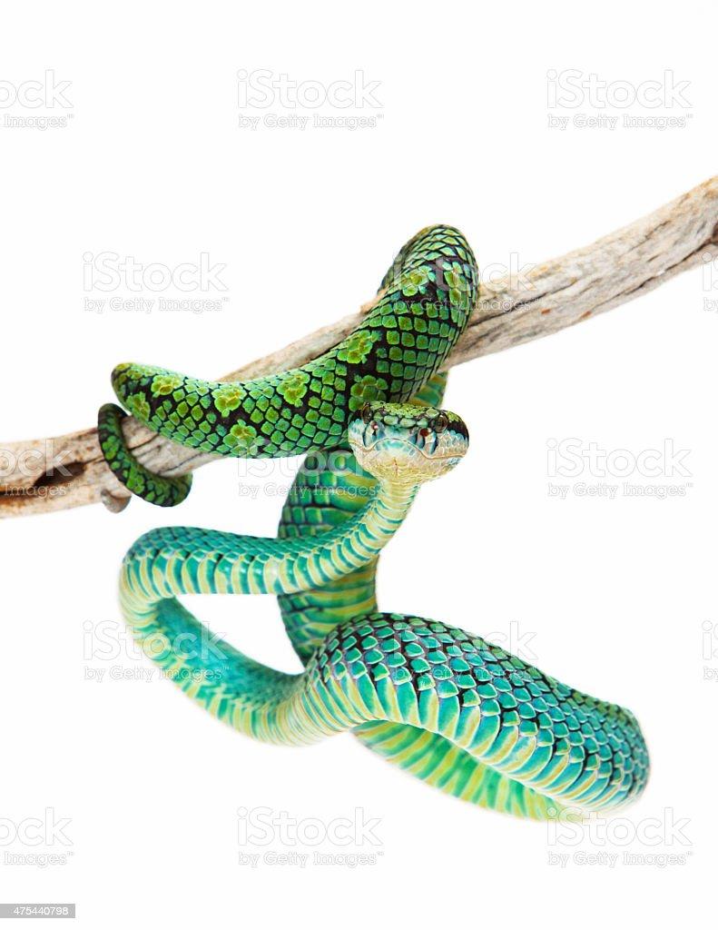 Colorful Sri Lankan Palm Viper stock photo