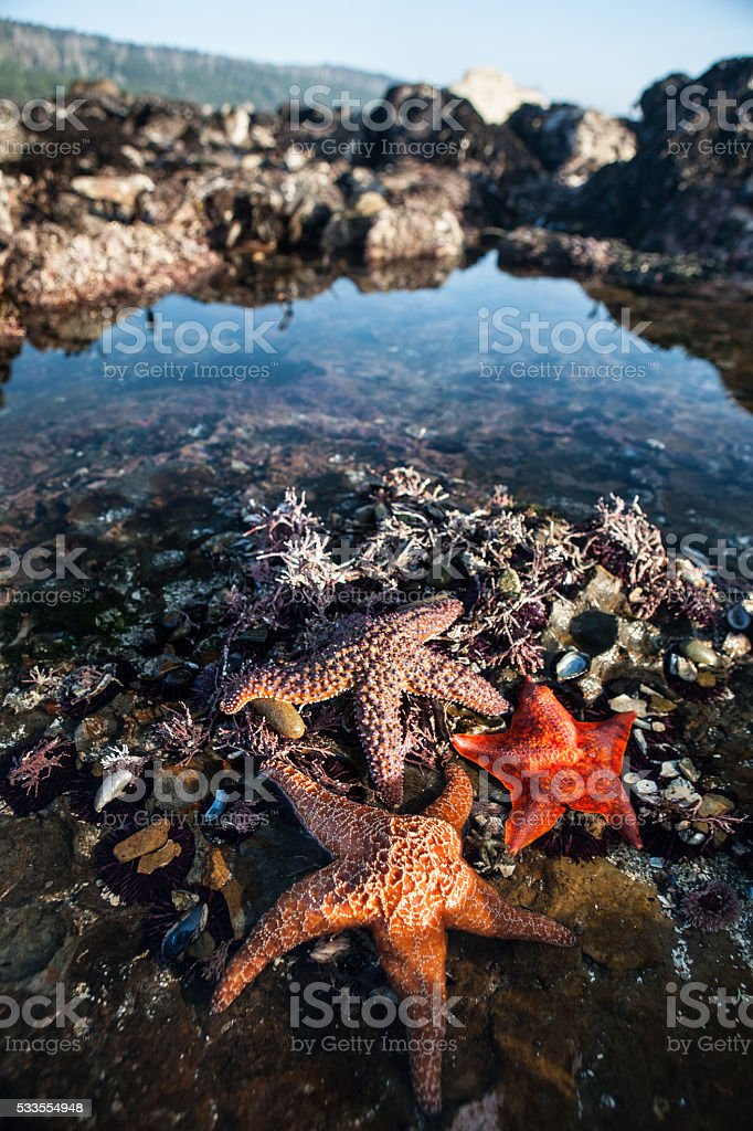 Colorful Starfish in Tide Pool stock photo