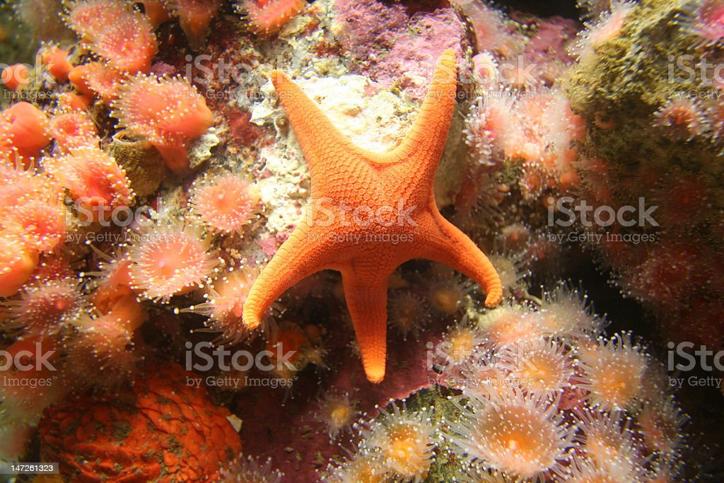 Colorful starfish on anemone background royalty-free stock photo