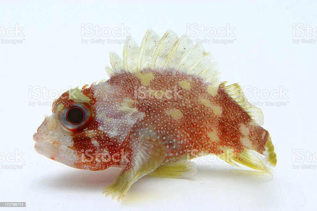 colorful stonefish stock photo
