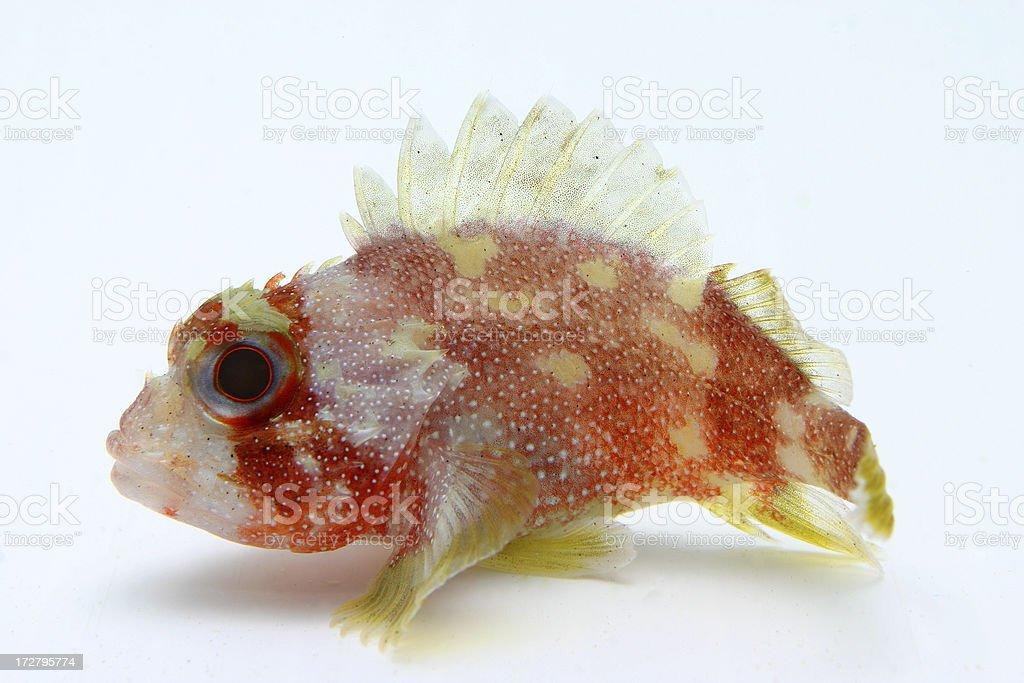colorful stonefish stock photo