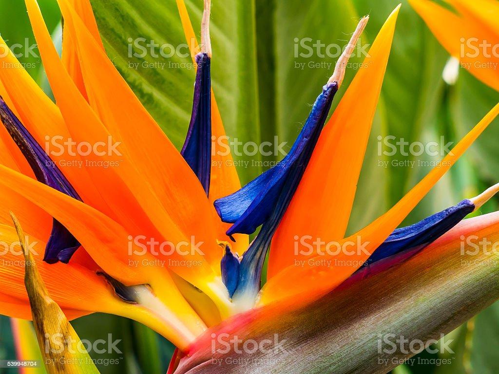 Colorful strelitzia stock photo