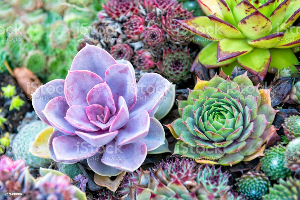 Colorful Succulents royalty-free stock photo