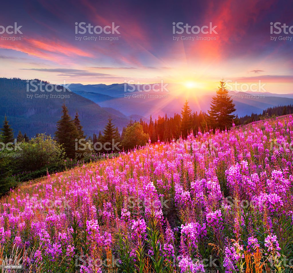 Colorful summer sunrise in the mountains with pink flowers. stock photo