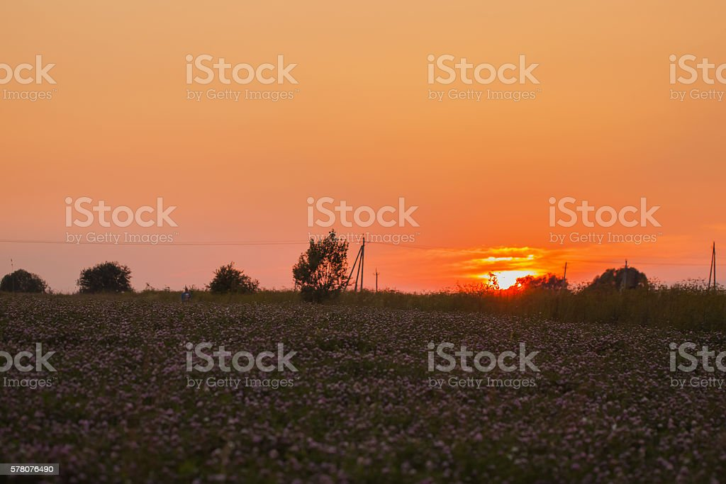Colorful sunset on the field with blooming clover stock photo
