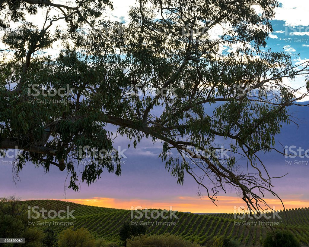 Colorful sunset over Napa vineyard with tree silhouette in foreground stock photo
