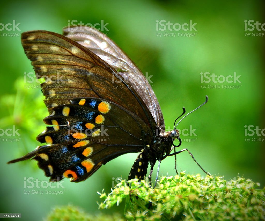 Colorful Swallowtail Butterfly royalty-free stock photo