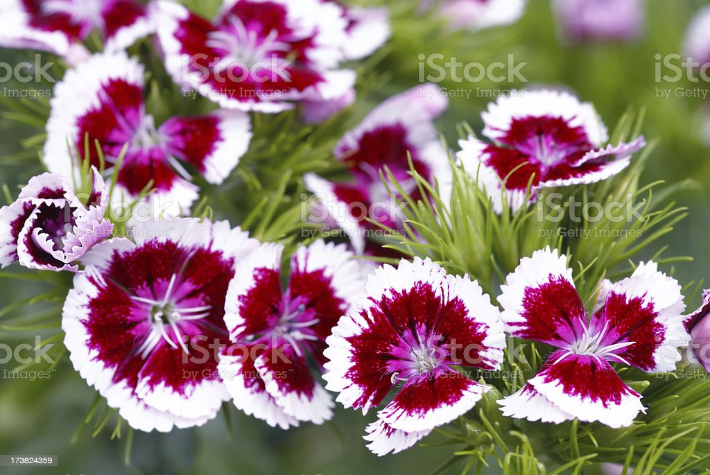 Colorful sweet william flower stock photo