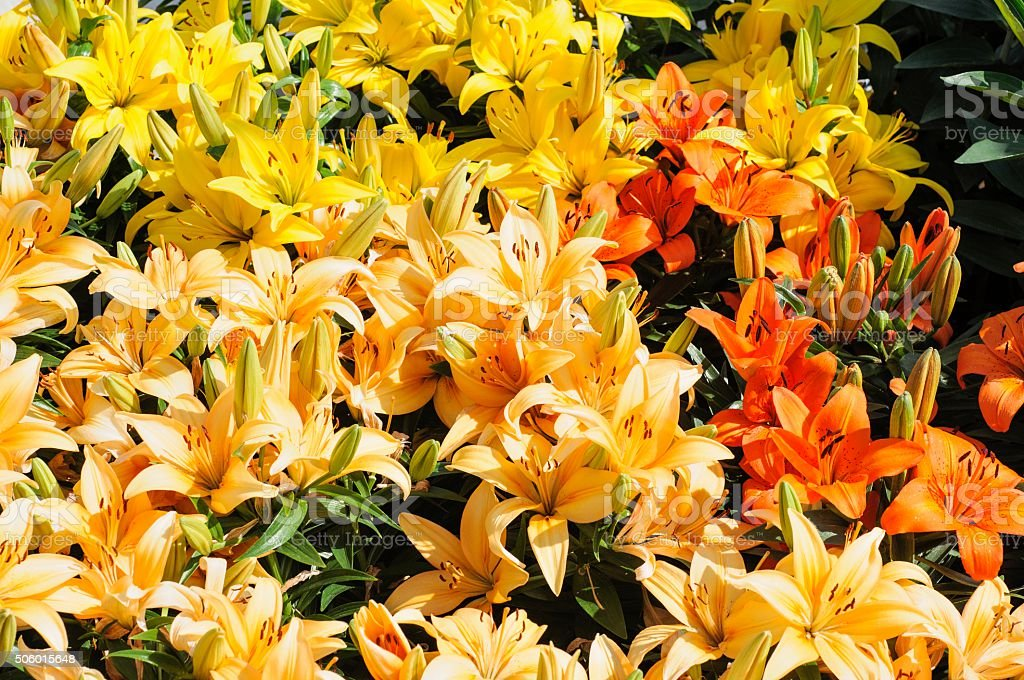 Colorful Tiger Lilies in a Garden in Spring stock photo