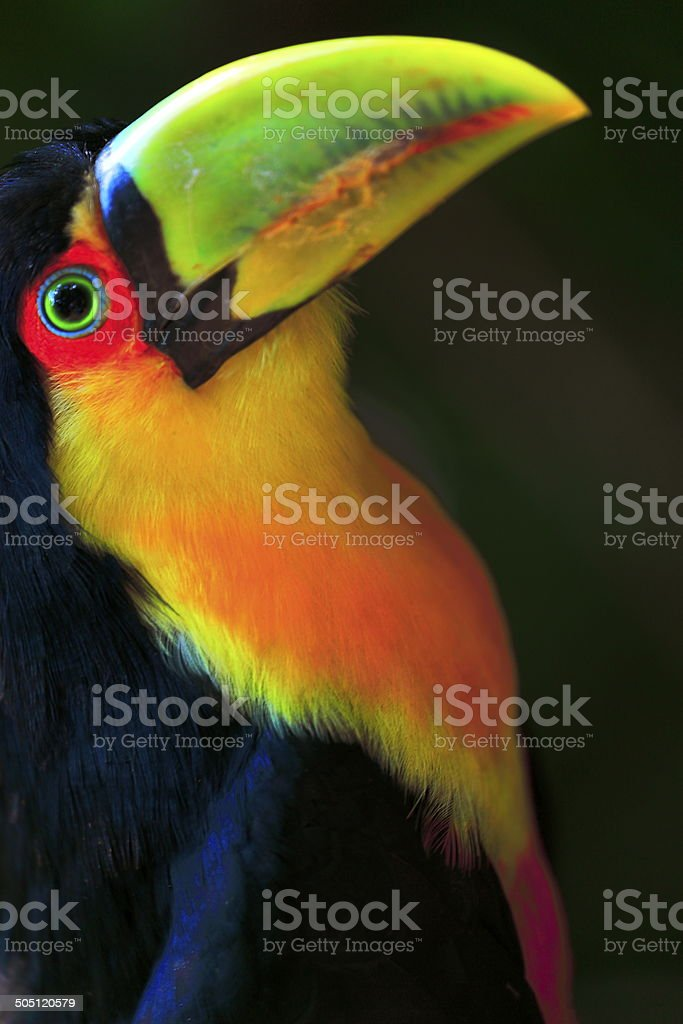 Colorful toucan lacking in Pantanal, Brazil stock photo
