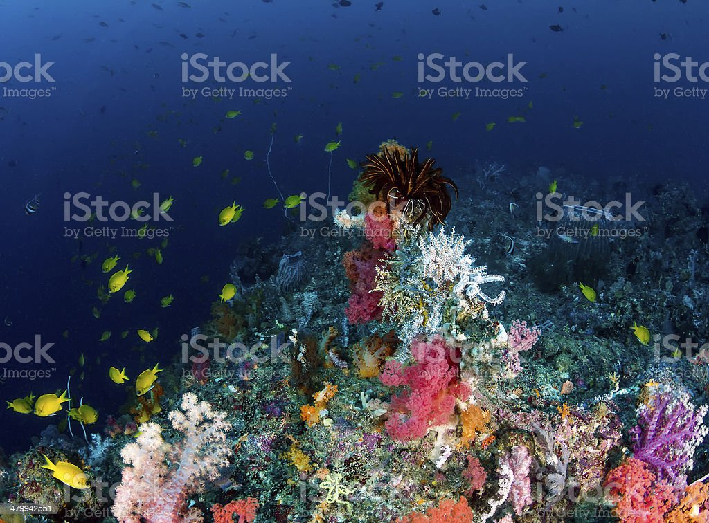 Colorful tropical fish and soft corals on a coral reef stock photo