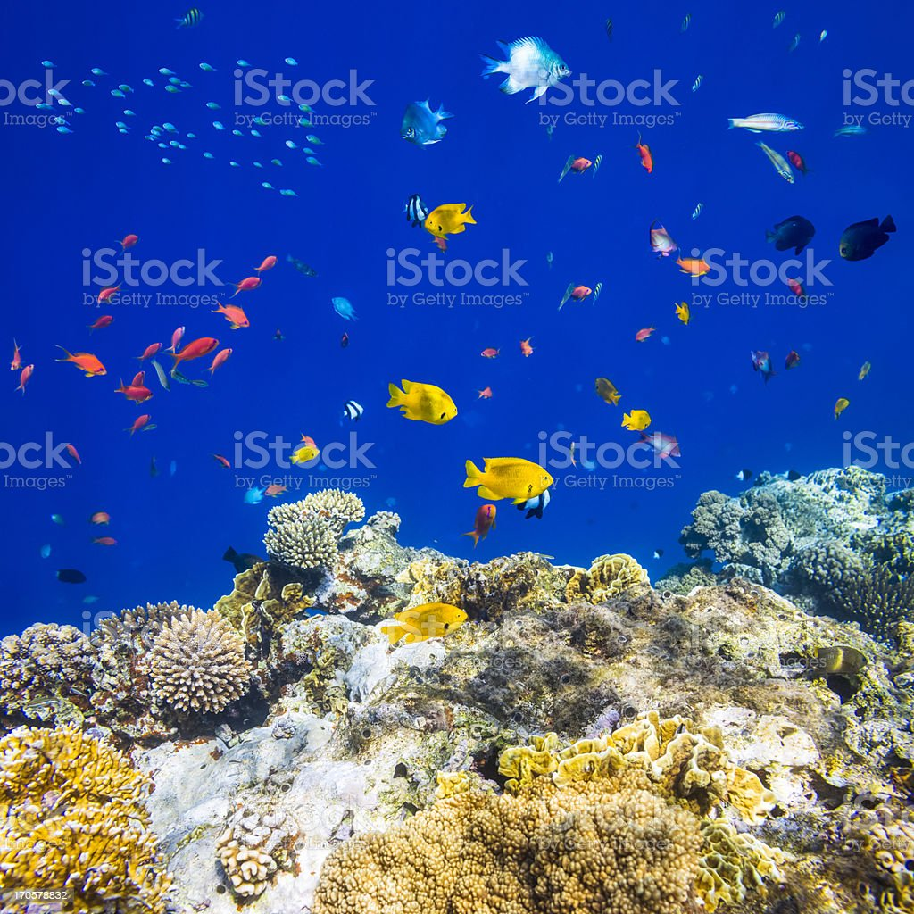 Colorful tropical fish on Red sea stock photo