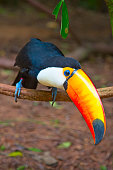Colorful tucan