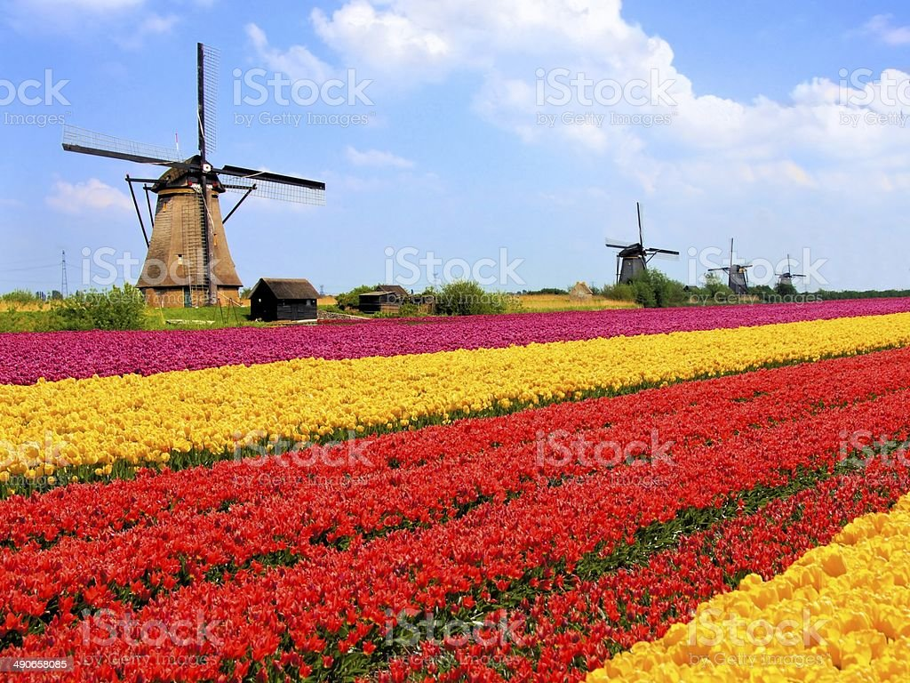 Colorful tulip fields and Dutch windmills stock photo