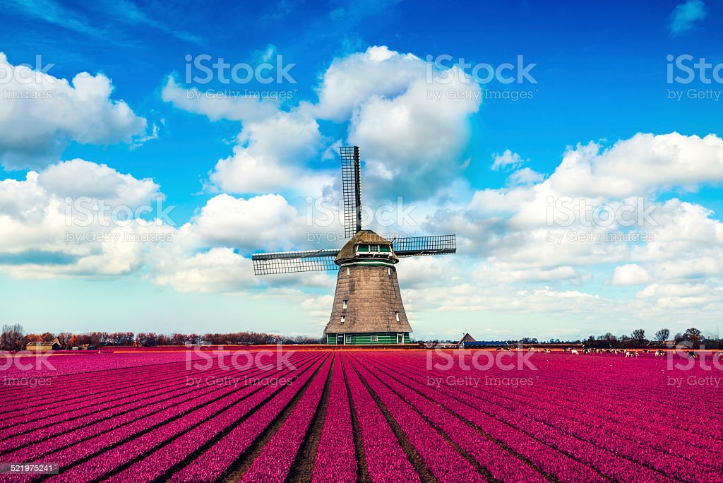 Colorful Tulip Fields in front of a Traditional Dutch Windmill stock photo