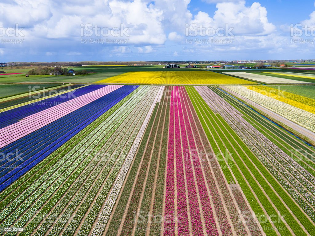 colorful Tulip fields in North Holland stock photo