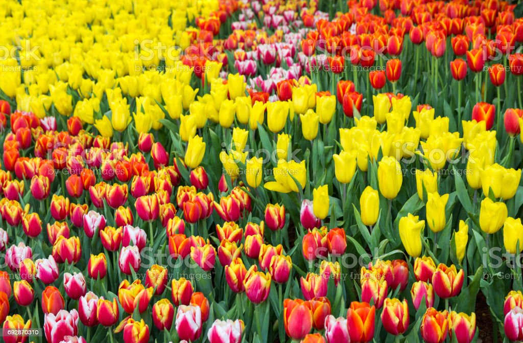 Colorful tulip flower fields blooming in the garden stock photo