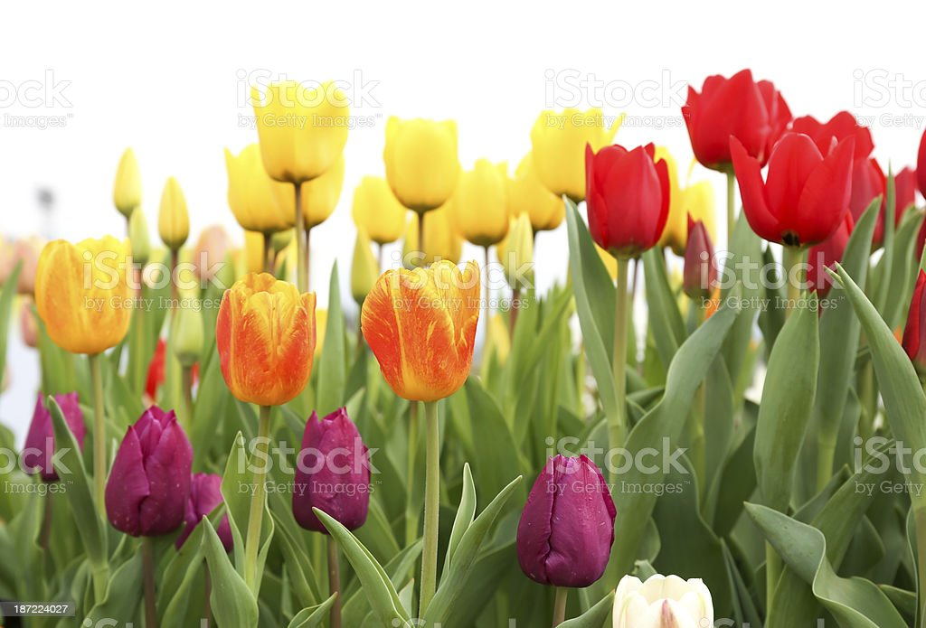 Colorful tulip flowers isolated on white background royalty-free stock photo