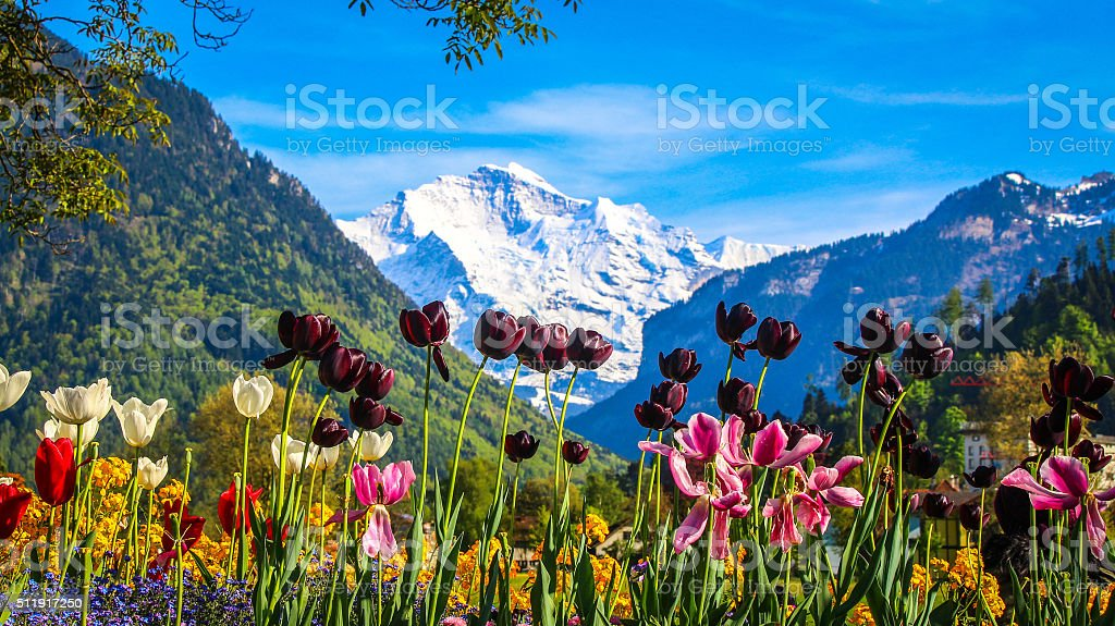 Colorful Tulip flowers with Mountain Alps stock photo