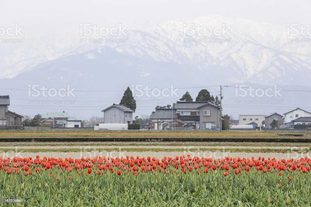 Colorful tulip flowers with snow mountain in background royalty-free stock photo