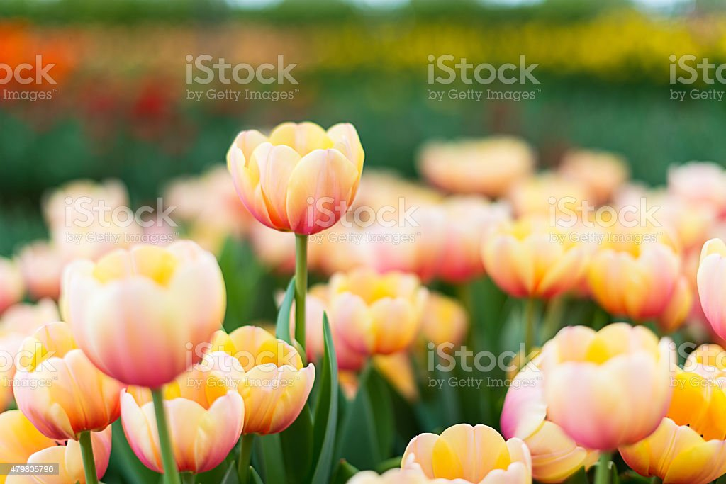Colorful tulip : focus on the highest stock photo