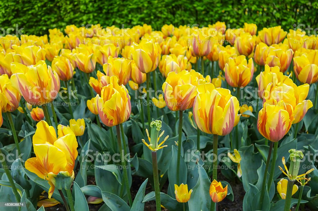 Colorful tulip garden royalty-free stock photo