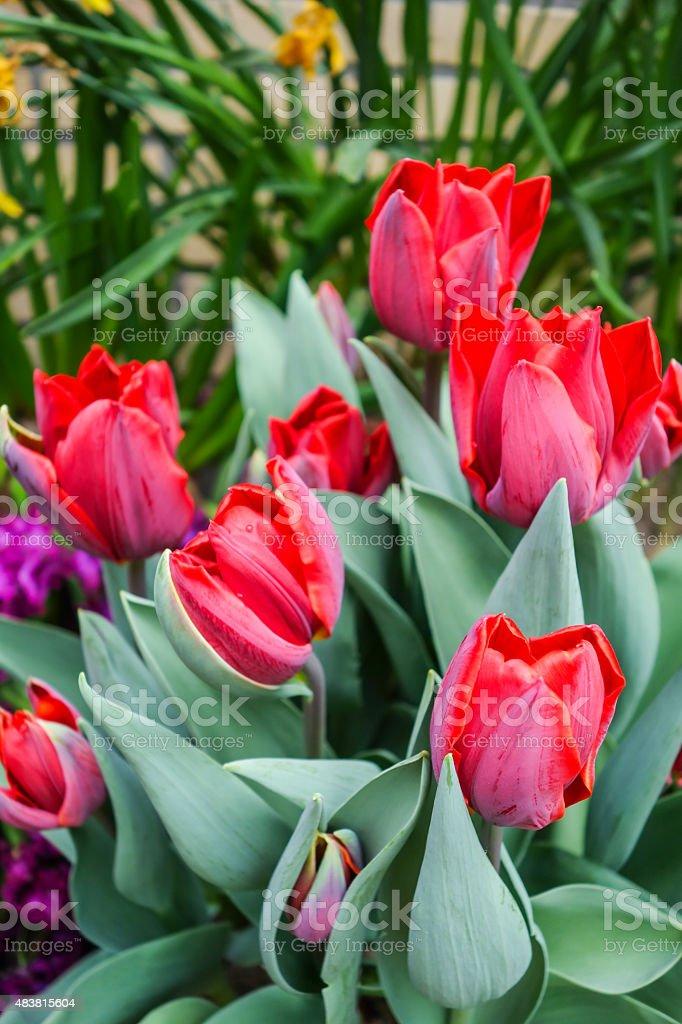 Colorful tulip garden royalty-free stock photo