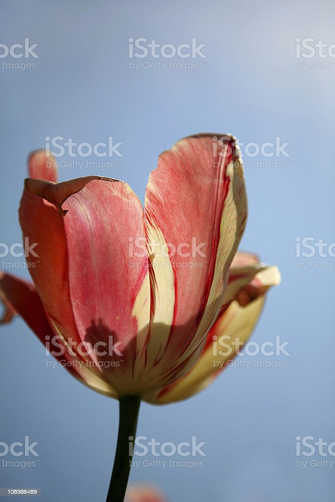 colorful tulip in summer time royalty-free stock photo