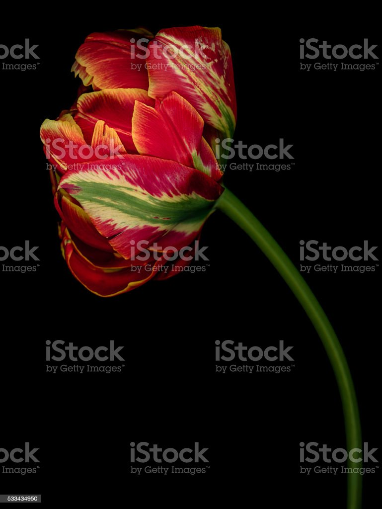 Colorful tulip isolated against a black background stock photo
