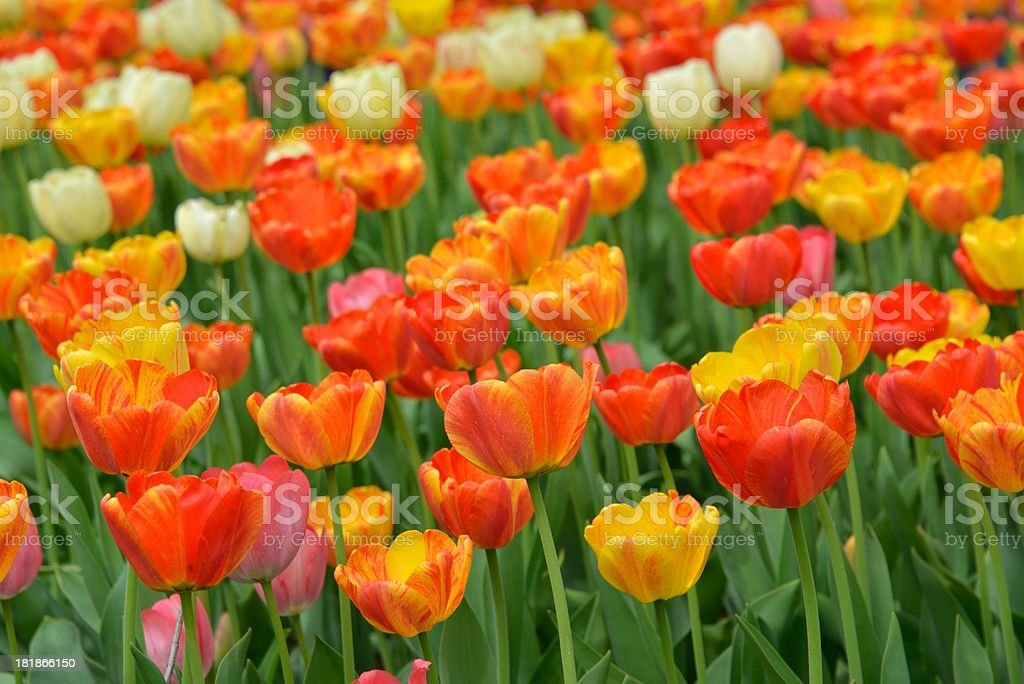 Colorful Tulip royalty-free stock photo