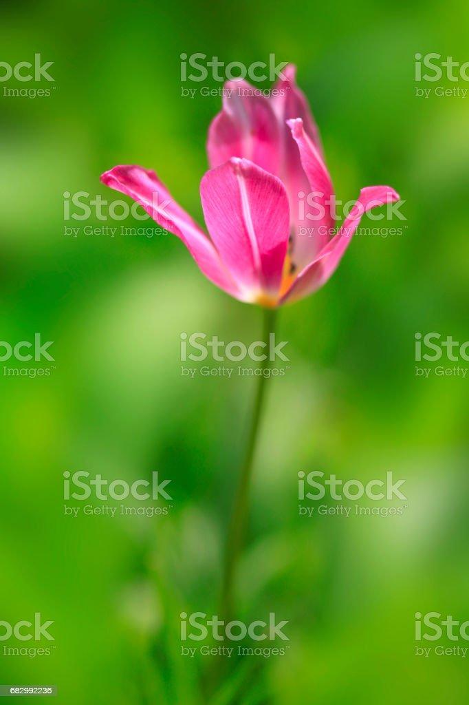 colorful tulip stock photo