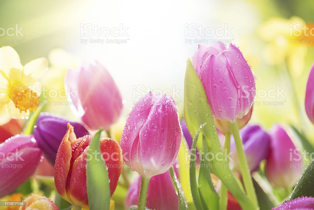 Colorful tulips  and daffodils on nature background with water drops stock photo