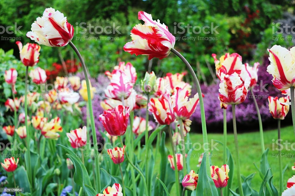 Colorful tulips and heather bloom in spring,  Lake Maggiore Italy stock photo