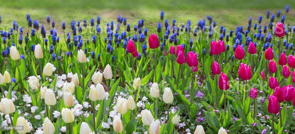 Colorful tulips background stock photo