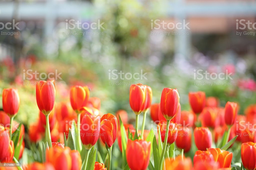 colorful tulips in close up stock photo