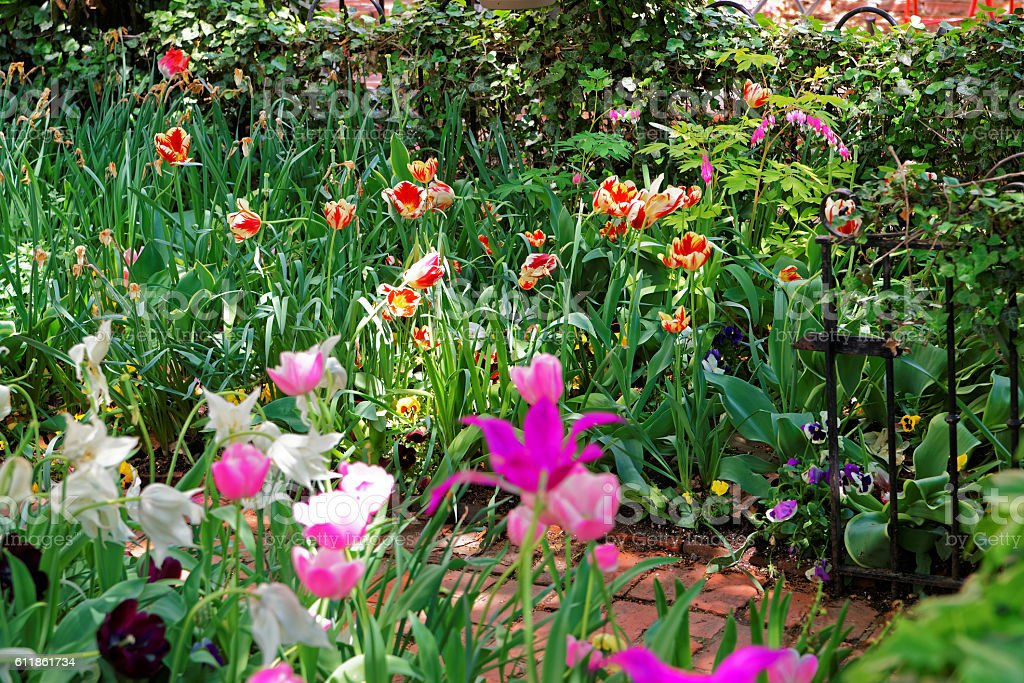 Colorful tulips in flowerbed in Washington DC stock photo