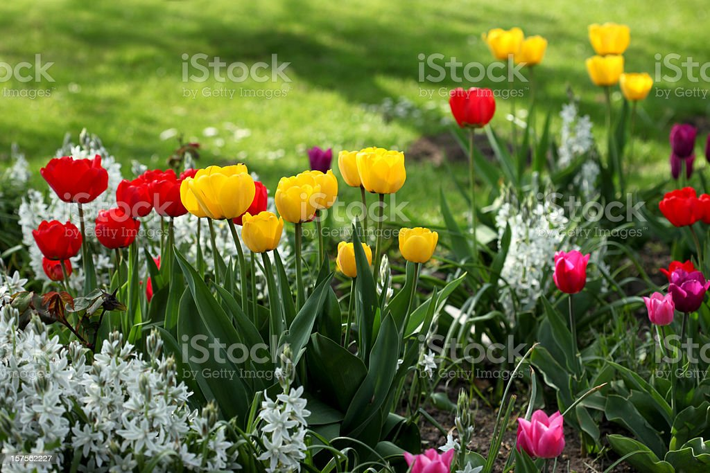 Colorful tulips in flowerbed royalty-free stock photo