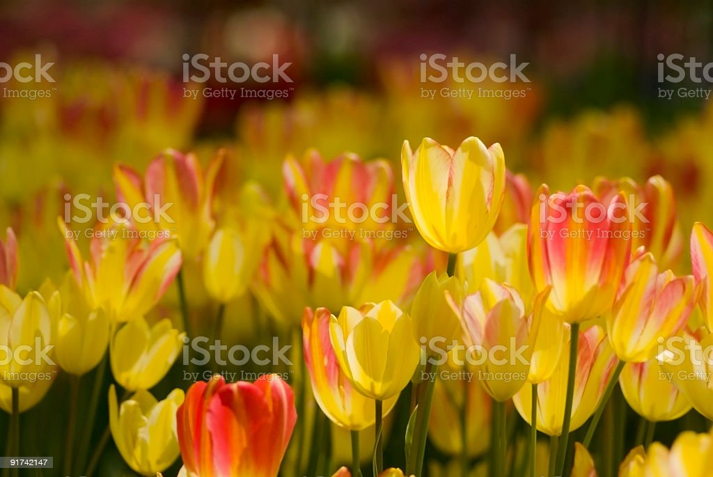 Colorful tulips in the sunny spring garden royalty-free stock photo