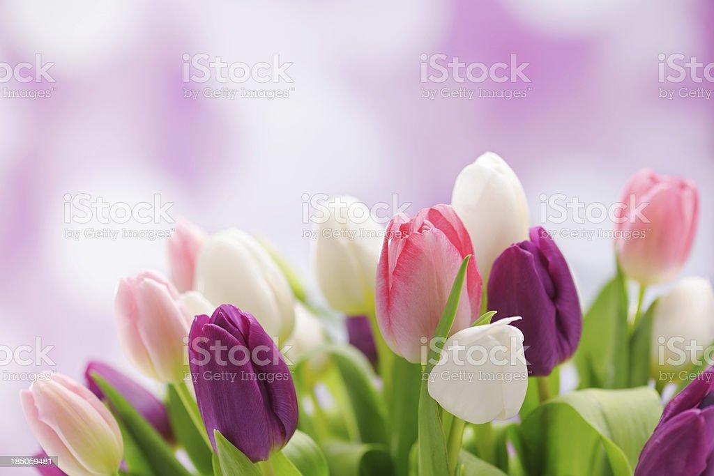 Colorful tulips on illuminated background stock photo