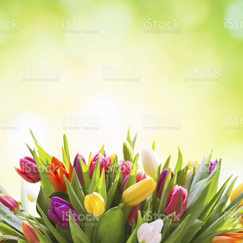 Colorful tulips on nature background stock photo