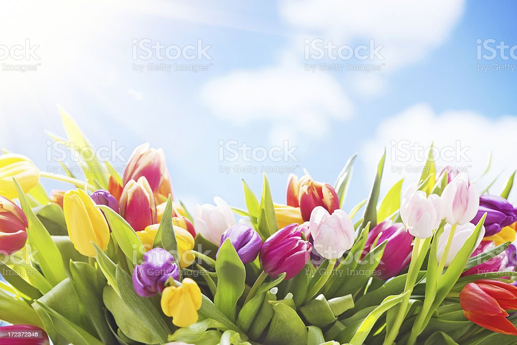 Colorful tulips royalty-free stock photo