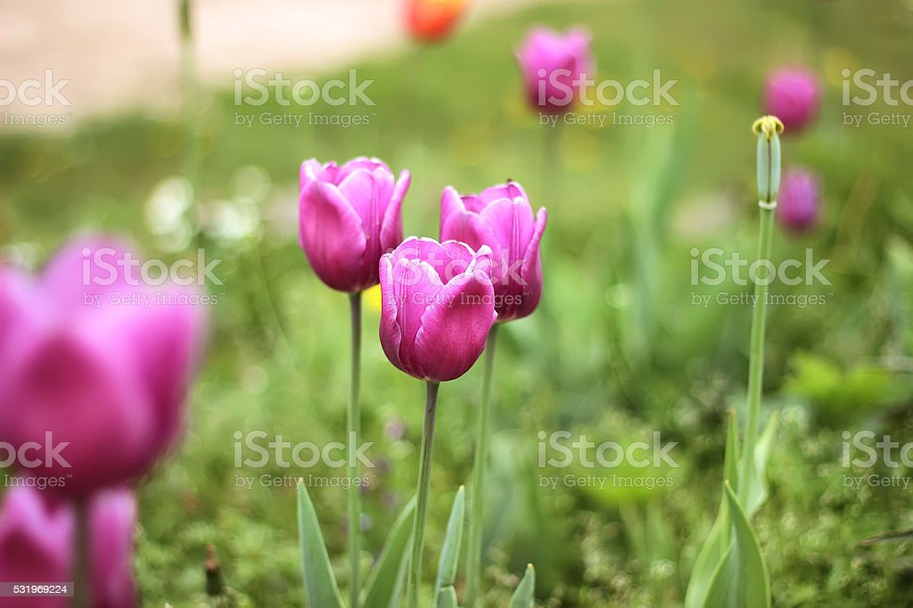 colorful tulips, tulips in spring royalty-free stock photo