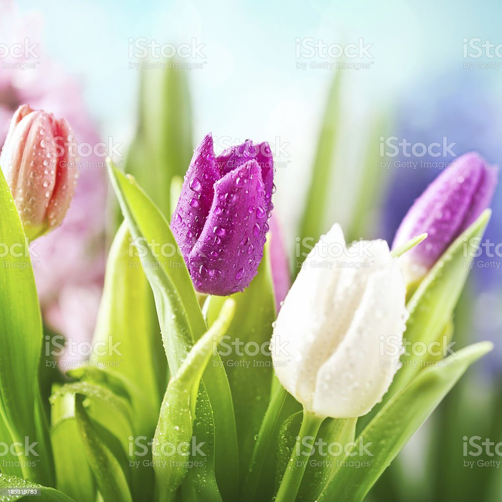 Colorful tulips with water drops stock photo