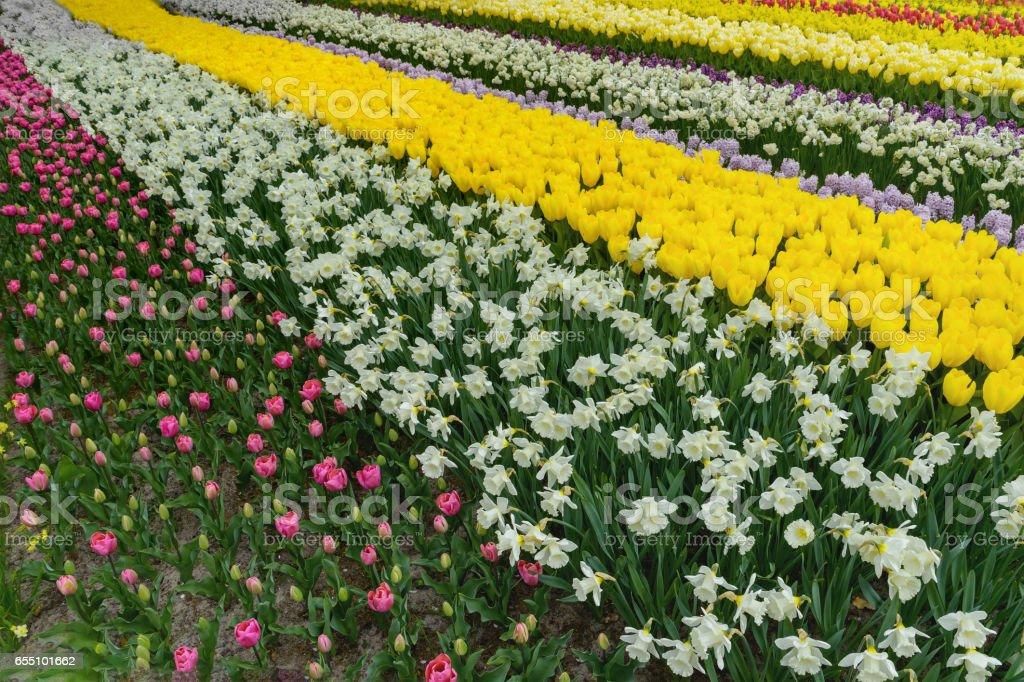 Colorful tulpen, narzissen in dutch spring Keukenhof Gardens stock photo