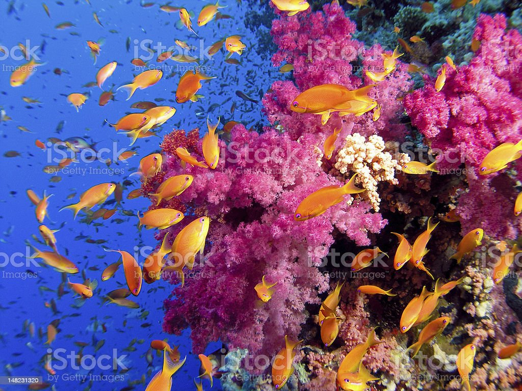 Colorful underwater picture of a coral reef, with goldfish stock photo