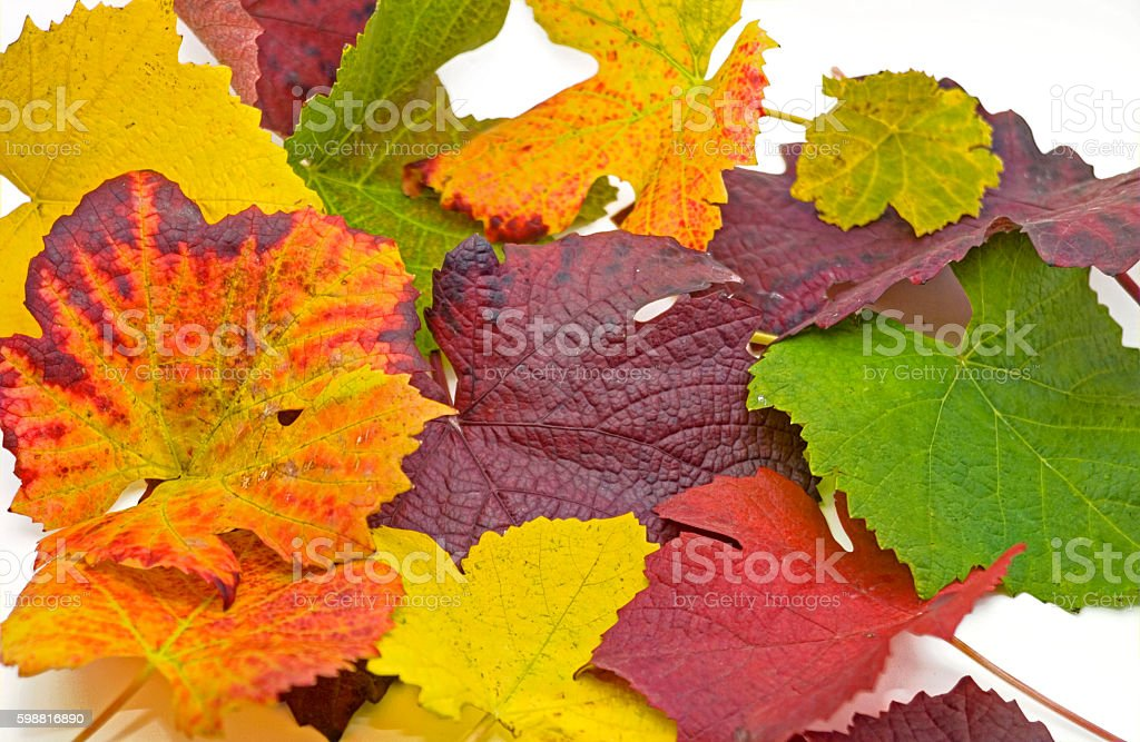 colorful vine leaves for cropping stock photo