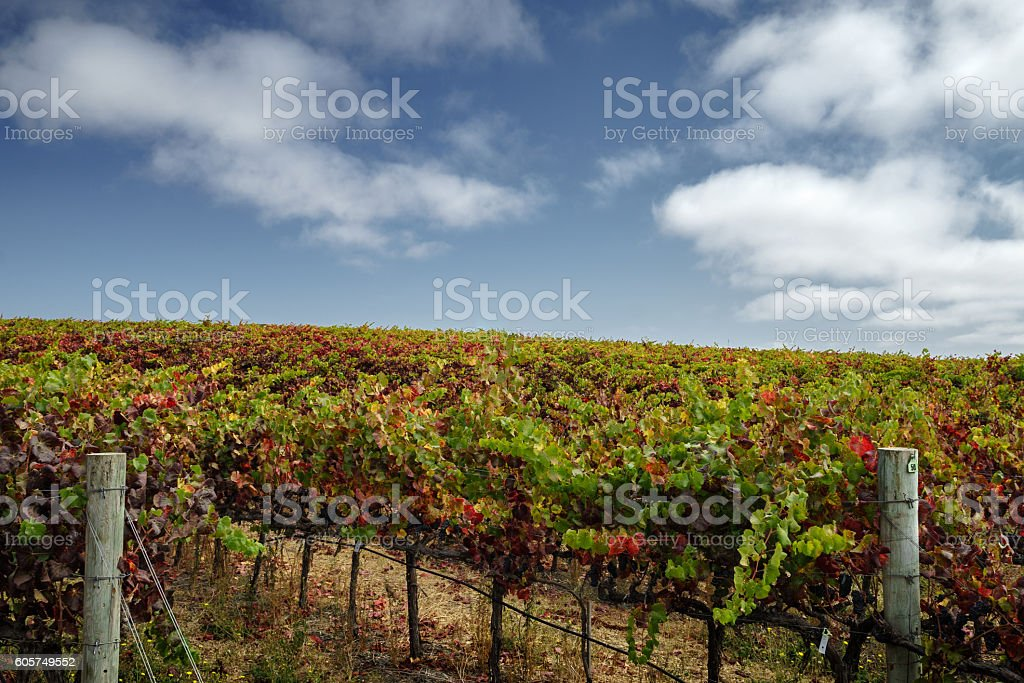 Colorful vineyard at harvest in Napa Valley on sunny day stock photo