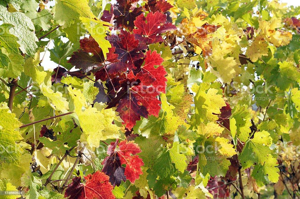 Colorful vineyard royalty-free stock photo