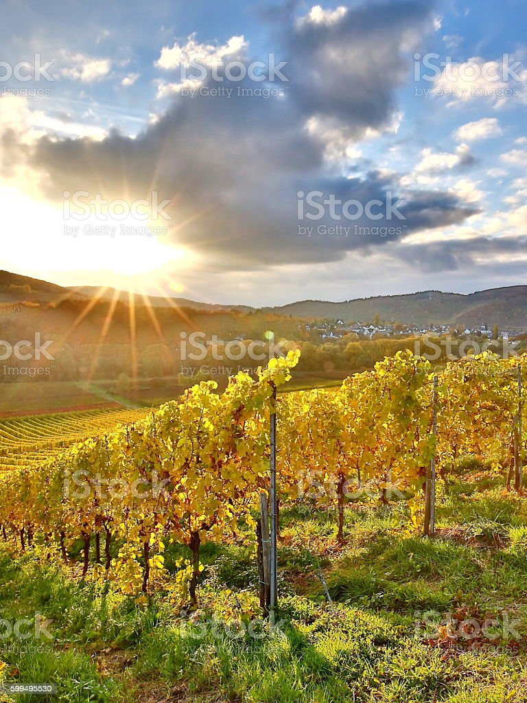 colorful vineyards at moselle valley stock photo